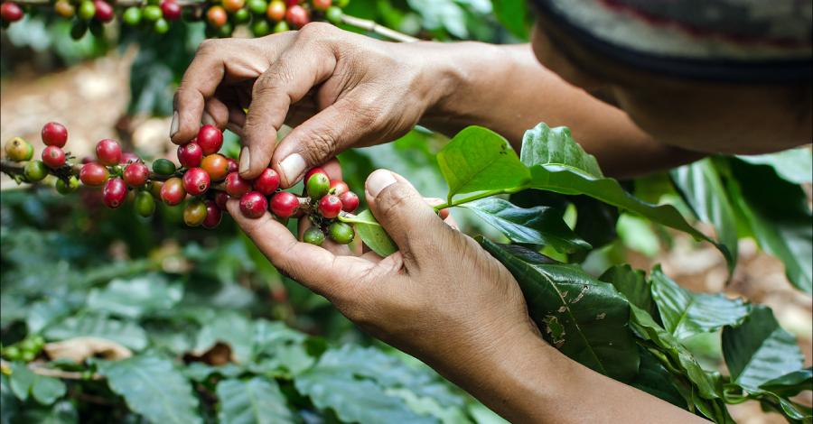 Zbiory kawy